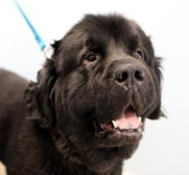 #OHIO ~ Duke is a #adoptable Newfoundland Dog in #Kettering - Should you find an animal you think would be a great fit for you, please make sure to give us a call to find out if the animal is still available, we try to keep petfinder updated but aren't always able to get a pet off-line right away.  SICSA   2600 Wilmington Pike  #Kettering OH 45419  mailto:adoption@s...  Ph 937-294-6505