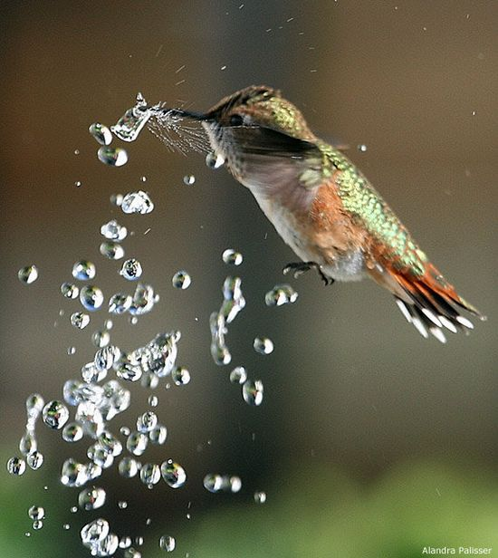 Rufous hummingbird hovering above a fountain in a backyard pond. (Notice the spray from the water droplet it pierced.)