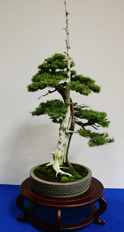 Art bonsai tree ???????????1