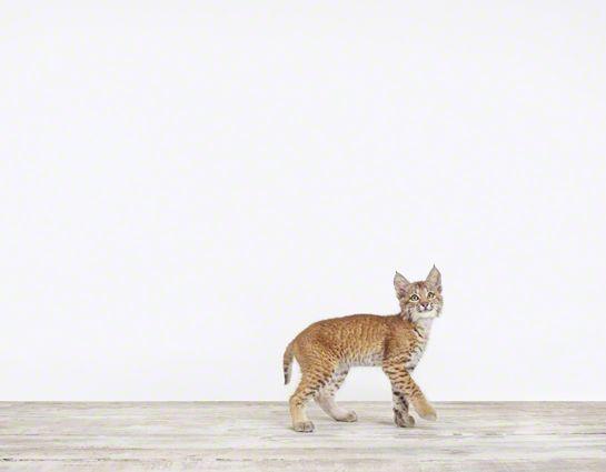 baby bobcat!