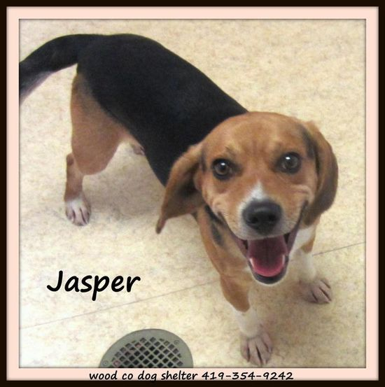 #OHIO #URGENT ~ Jasper is a young Beagle in need of a loving #adopter / #rescue at WOOD COUNTY DOG SHELTER 1912 E Gypsy Lane Rd #BowlingGreen OH 43402 mailto:wcdogshelt... Ph 419-354-9242