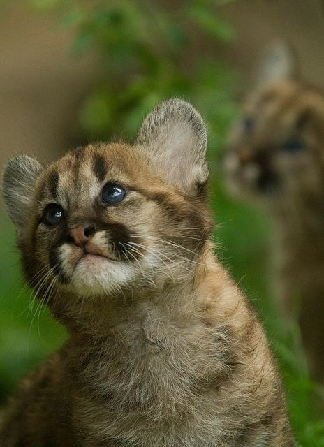 Puma cub at Exmoor Zoo, North Devon, England