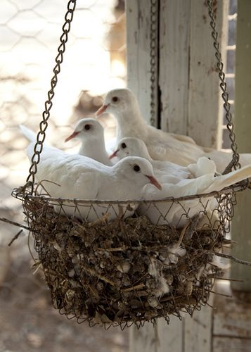 Love Doves nesting in a basket~