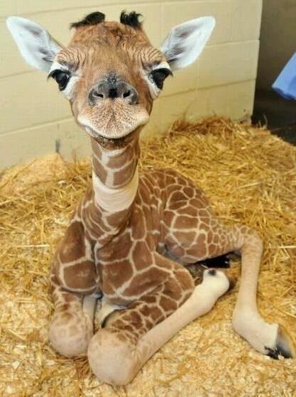 a baby giraffe..