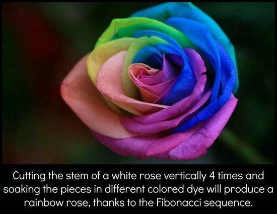 Multi colored rose!