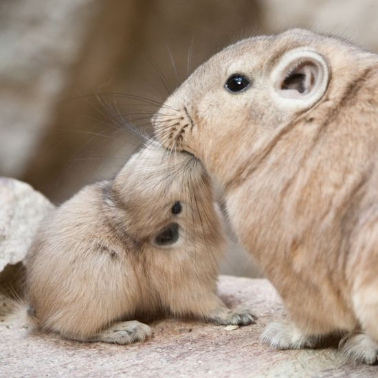 """Gundis or """"comb rats"""" are small rodents. They live in the rocky deserts in northern Africa. They are social animals who live in colonies of up to a hundred or more individuals."""