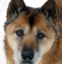 #INDIANA ~ meet BOO a #senior female #ChowChow #GermanShepherd #dog mix #adoptable  in #SouthBend. Surrendered to us when her owner was forced to move and could only take one dog with her.  Boo is 7-8 years old.  She is good with most other dogs, but likes to keep to herself.  She is fine with cats too.   She is spayed, up to date on her vaccines, microchipped, HW- & on prevention.  Her adoption fee is 75.00 #adopt this grande gal at Heartland Small Animal Rescue ph  574-360-2948