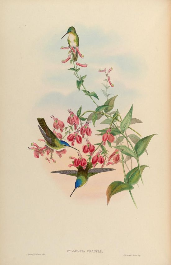 Cyanomyia Franciae. A monograph of the Trochilidæ, or family of humming-birds v.5 London :Printed by Taylor and Francis ;1861 [i.e. 1849-1861] Biodiversitylibrary. Biodivlibrary. BHL. Biodiversity Heritage Library