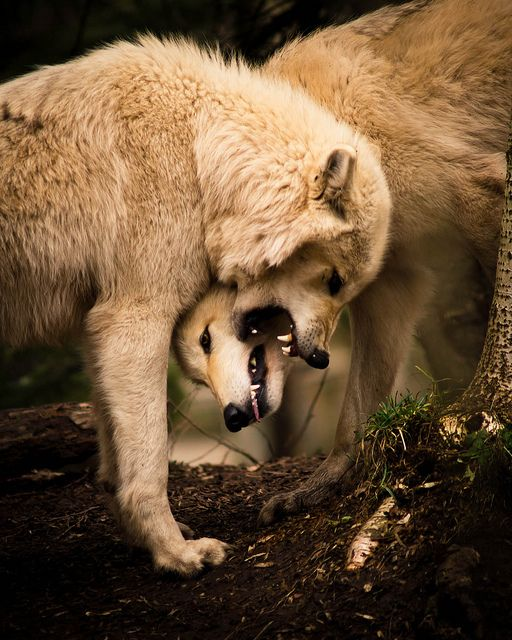i love wolves, so beautiful