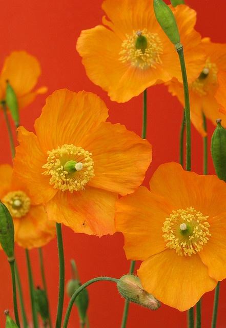 Poppies by Redscape Flowers Orange