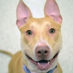Tori is an adoptable Pit Bull Terrier Dog in New York, NY. What You Need in Order to Adopt When you are ready to visit the 92nd Street ASPCA Adoption Center, please note the following to facilitate th...