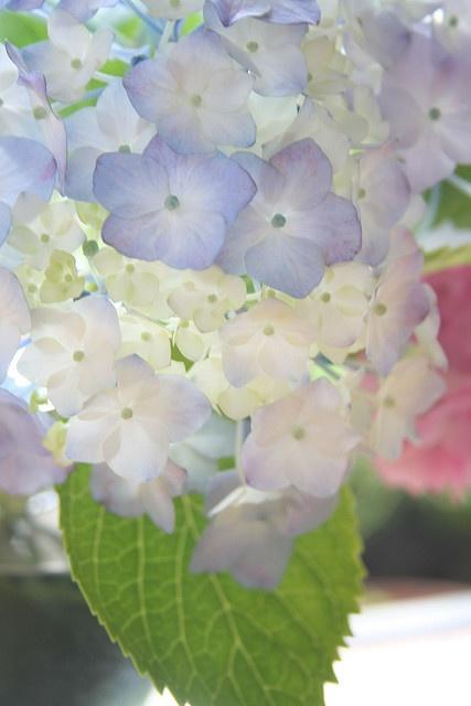 Pale blue hydrangeas