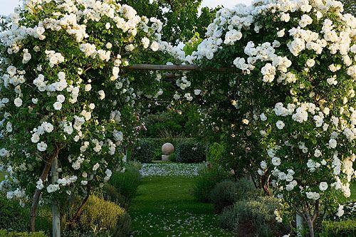 Provence, Dominique Lafourcade. Rose  pergola with rosa 'iceberg'