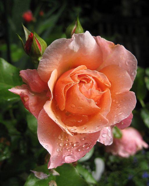 Lovely Peach Rose