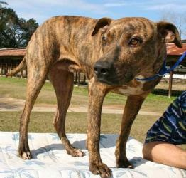 #FLORIDA ~ Warren is an $adoptable #AmericanBulldog #PlottHound mix #Dog in #Chipley. Warren is a 1 year old male mixed breed with beautiful brindle markings, about 50 pounds. He is good on a leash, calm and very friendly. He ...Animal Control of West Florida   686 Highway 90     Chipley, FL 32428   Phone: 850-638-2082    Email: mailto:acowf@att.ne