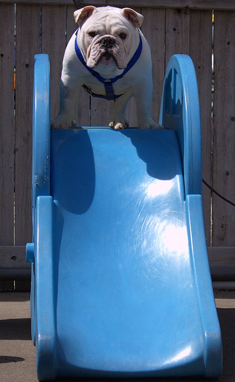 English Bulldog ~ Ready to Slide