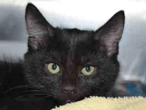 A728821 is an adoptable Domestic Short Hair Cat in Martinez, CA.  ...