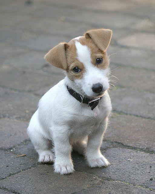 Adorable terrier pup.
