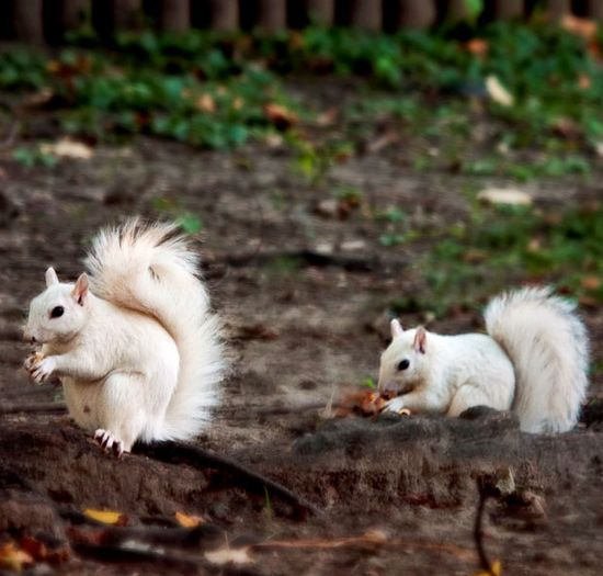 To spot one white squirrel is rare. To see three together in the wild is almost unheard of---there used to be a few on my campus until one got hit by a car and another got picked up by a hawk