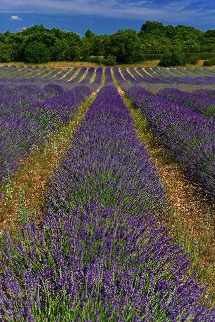 A Lavender Way, Provence, France
