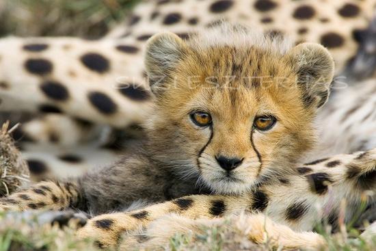 CHEETAH BABY PHOTO- 8 X 10 Print - Baby Animal Photograph, Wildlife Photography, Wall Decor, Nursery Art, African Safari, Nature. $25.00, via Etsy.