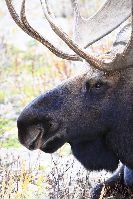 Moose in Grand Teton National Park Wyoming, by Chris J. Wallace
