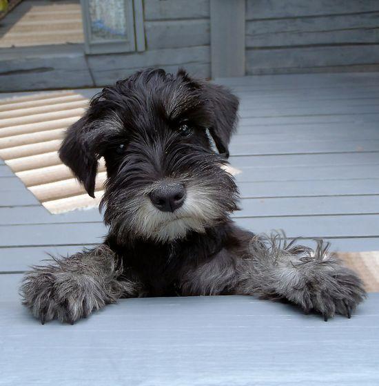 Such a cute mini schnauzer *?*