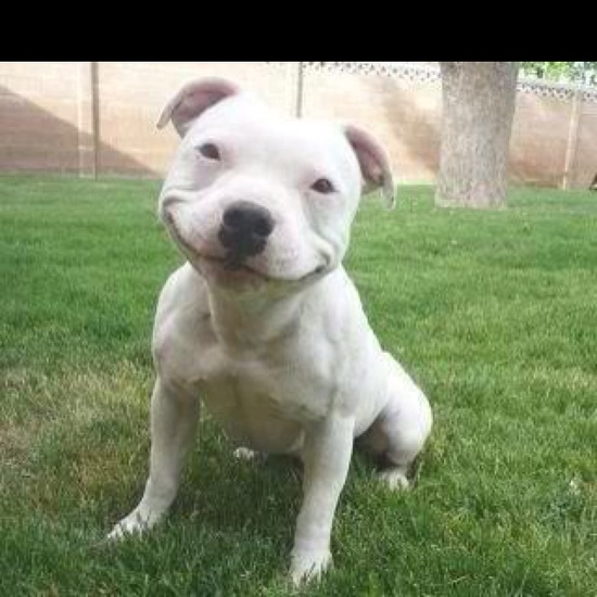 Love that pit bull smile. Pit bulls are great dogs, friendly and sweet.