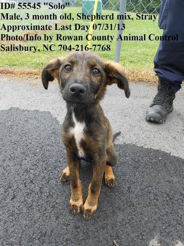SHELTER FULL ~ WILL BE GASSED –7/31 (if not sooner) ?  Salisbury, NC ?URGENT GAS CHAMBER FACILITY? ? Solo #55545 ~ Shepherd Mix, 3 mos old, Male ? Solo was a stray and is now looking for a forever home. PLEASE SHARE! Contact info: Rowan County Animal Shelter: phone: 704-216-7768 fax: 704-638-3998  www.facebook.com/...