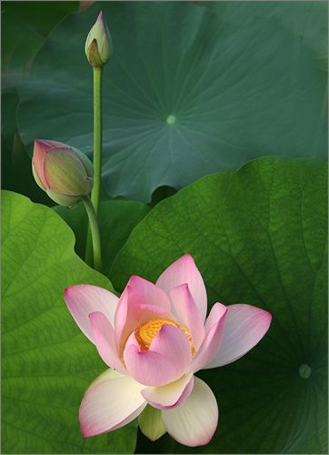 Lotus Flower -- by Bahman Farzad