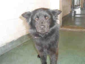FLORIDA ~ URG'T ~ meet LARRY ID A1499136 an #adoptable #Schipperke mix #dog #Miami.   MIAMI-DADE ANIMALS SERVICES  7401 NW 74 St.Miami, FL 33166  PH 305-805-51619    M-F 10a to 6:30p  SAT/SUN 10a to 4p