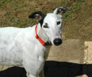 Chico Marx is an #adoptable #Greyhound #Dog in #Allentown, #PENNSYLVANIA. Chico is a 7 1/2 year old white with black male. He is a tall male, weighing about 90 pounds. He is playful, lovable ,silly and very outgoing...