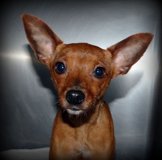 I am a very sweet and people loving little 1 year old lost pet.  I sure would love to have a fun and loving home.  For more information on this dog or any of our adoptable pets, please call the shelter at 636-583-4300 or stop by!