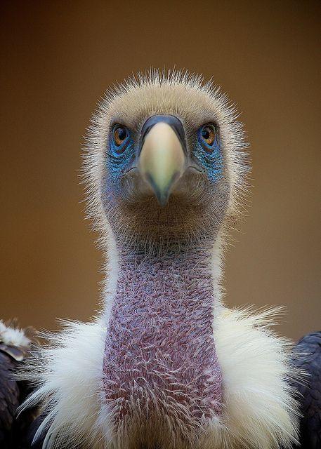 Vulture Portrait by fingolfin75, via Flickr