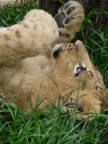 Antelope Park cubs 2
