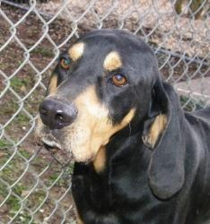 #ALABAMA ~ meet Elrod ~ an #adoptable #BlackAndTanCoonhound #dog in #Gordo.   I am a intact adult male Black & Tan Hound. I am currently in isolation at Red Gate Farm Rescue, Inc. I will be fully vaccinated and heartworm status checked soon & available for #adoption in the near future. With Redgate Farm Rescue ~ E Mail mailto:RedgateFar... to inquire