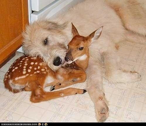 Irish Wolfhound & fawn