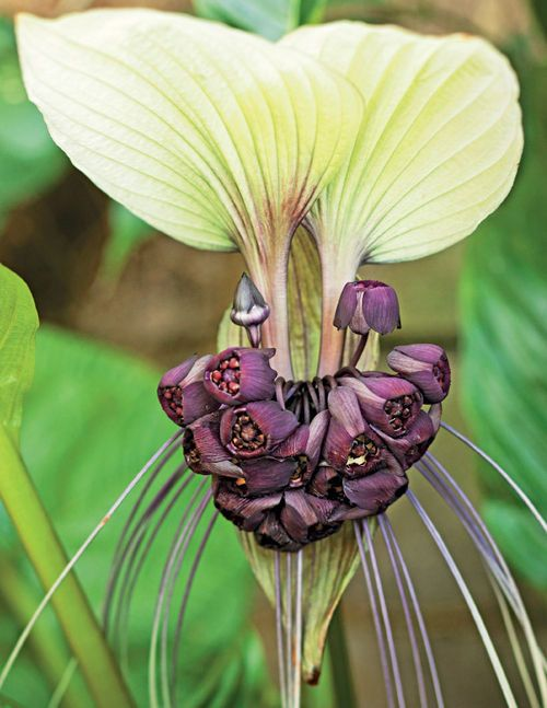 Orchid: Tacca Integrifolia