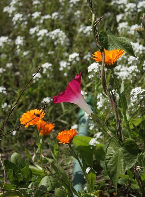 Flowers in the vegetable garden