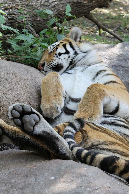 Amur Tiger - Takin' a Cat Nap