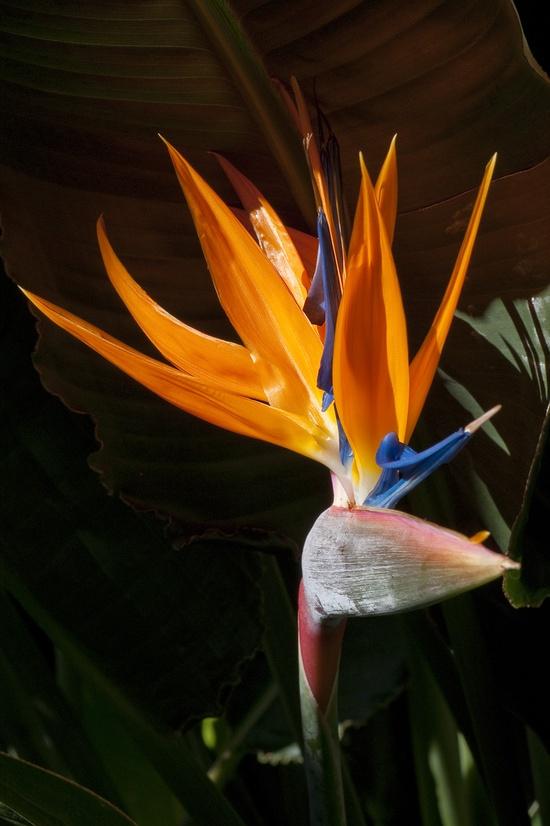bird of paradise my. Favorite flower