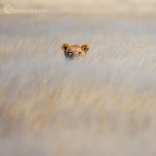 Lion Hunting in the Tall Grass