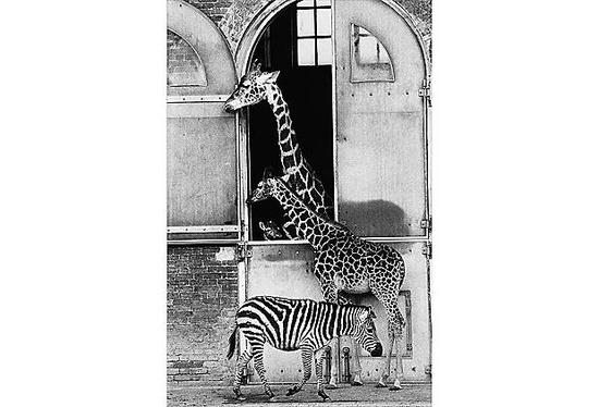 Giraffe Giraffe!