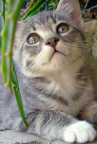 Just look at that incredibly precious little white and grey face ? #kitty #kitten #cats #cute #animals