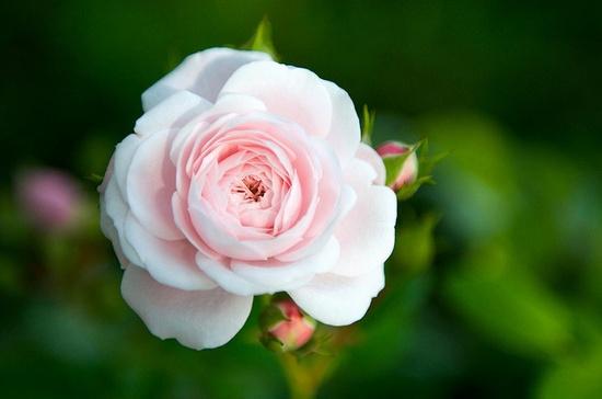 Pretty Pastel Pink Rose