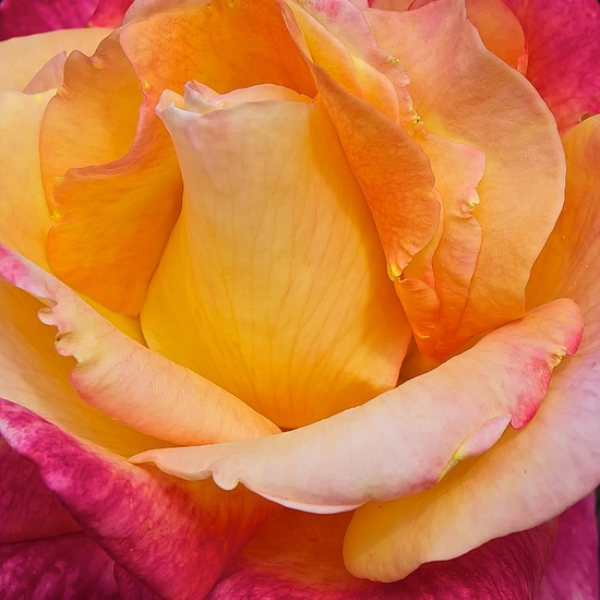 the rose #flowers