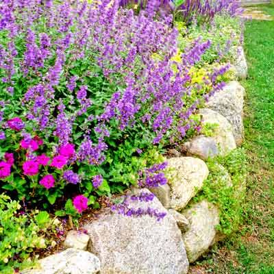 A rustic stone retaining wall edges a bed overflowing with fragrant catmint and salvia.