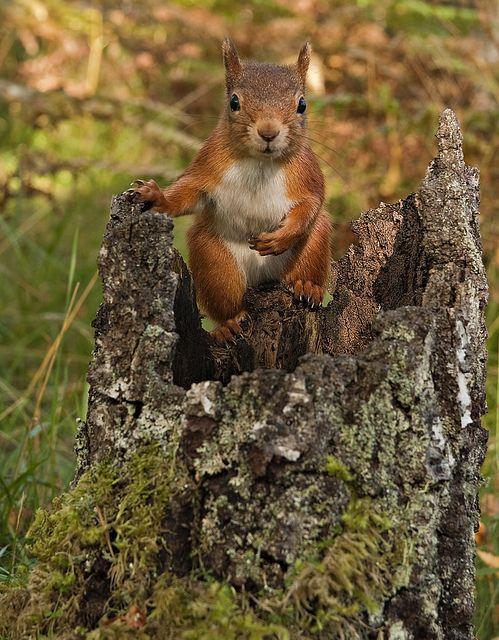 magicalnaturetour:    Red Squirrel chilled out by Margaret J Walker on Flickr. :)