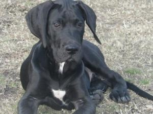 Jason is an #adoptable #GreatDane #Dog in #Jacksonville, #NCAROLINA. Jason was born on September of 2012 and as any Dane growing very quickly. We suspect he will on the larger end when things are said and done. ...