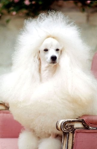 Billy, a Miniature Poodle, 1964